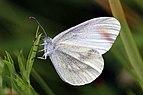 Wood white (Leptidea sinapis) P.jpg