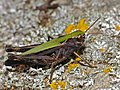 Woodland Grasshopper (Omocestus rufipes) female (14495669011).jpg