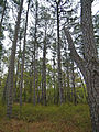 Woodlands at Chincoteague National Wildlife Refuge - K - Stierch.jpg