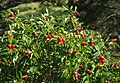 Woods rose hips.jpg