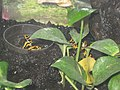 Yellow-banded poison dart frog PikiWiki Israel 14487 Wildlife and Plants of Israel.jpg