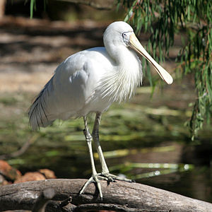 Yellow-billed spoonbill - Image: Yellow billed Spoonbill at Perth Zoo