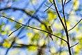 Yellow-throated vireo (40716956213).jpg