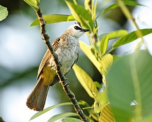 Yellow-vented bulbul - At Sungei Buloh Wetland Reserve, Singapore