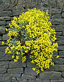 Yellow flowers in the wall.jpg