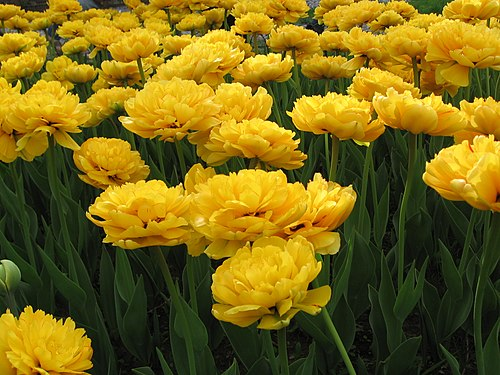 Yellow tulips at the Spring Flower Ball in Kharkiv 03.jpg