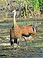Young Sandhill Cranes (7419849734).jpg