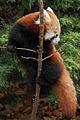 Young red panda (4139457992) (2).jpg