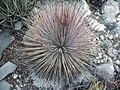 Yucca striata (5692334647).jpg