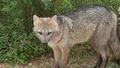 ZORRO DE MONTE - FOX OF MOUNT - Cerdocyon thous 5.png