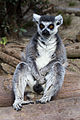 ZSL London - Ring-tailed lemur (01).jpg