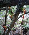 Z Treefuschia flowers at Aloes Kirstenbosch - Halleria lucida 6.JPG