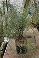 Zamia Angustifolia - approx 35 years in a Czech Private Collection.jpg