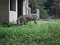 Zebra from Bannerghatta National Park 8648.JPG