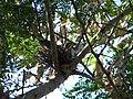 Zenaida Asiatica's Nest (3624269844).jpg