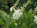 Zimterle (Clethra alnifolia)@Heilpflanzengarten Celle 20160728 02.jpg