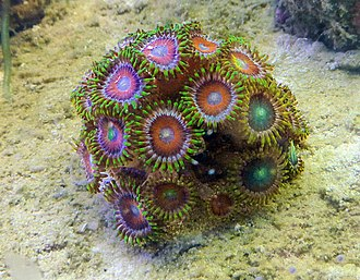 This dragon-eye zoanthid is a popular source of color in reef tanks. Zoanthus-dragon-eye.jpg