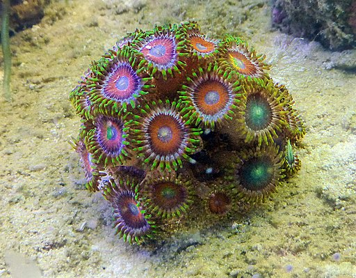 Dragon eye zoanthids coral