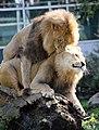 Zwei junge maennliche Loewen Panthera leo Tierpark Hellabrunn-4.jpg