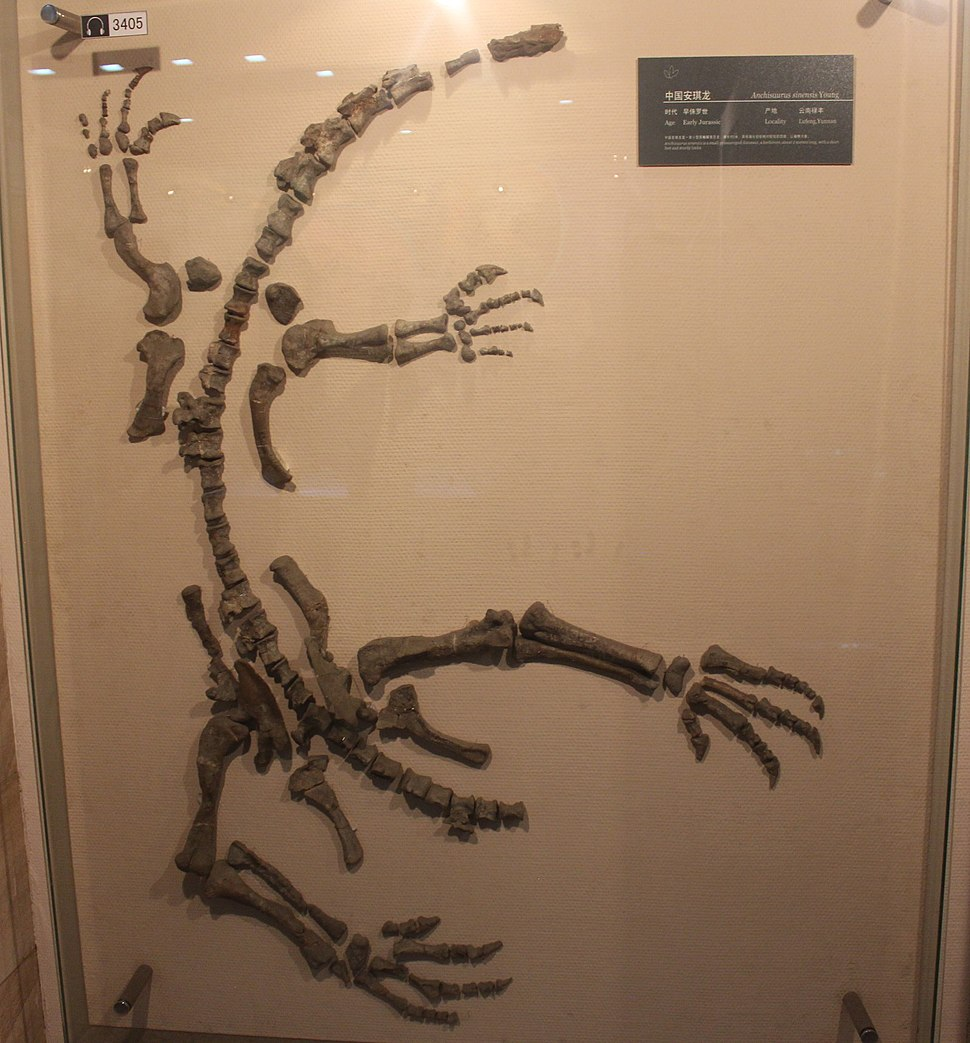 """Gyposaurus"" sinensis-Geological Museum of China"