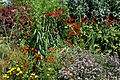 'Crocosmia × crocosmiiflora' Montbretia in Walled Garden border of Parham House, West Sussex, England 4.jpg