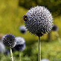 'Echinops ritro' close-up Old Palace Garden Hatfield House Hertfordshire England 2.jpg