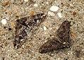 (1932) Spring Usher (Agriopis leucophaearia) (6906238261).jpg