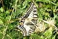 (Continental) Swallowtail (Lermoos) (15496520198).jpg
