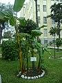 Árbol de Plátano en el Jardín Botánico de Lima.jpg