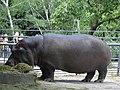 Бегемот в Миколаївському зоопарку.jpg