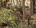 Благородный олень - Cervus elaphus - Red deer - Благороден елен - Rothirsch (29834449386).jpg