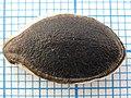 Гарбуз фіголистковий Cucurbita ficifolia - насінина.jpg