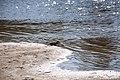 Горностай на пляже р. Ева -Яха, окресности г. Новый Уренгой 4.jpg