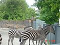 Зебри у київському зоопарку.jpg
