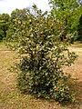 Падуб, Ботанічний сад ОНУ 2.jpg