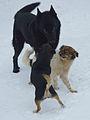 Пес Шахтар і собака Пуля (16236656736).jpg