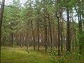 Узруївський ліс.jpg