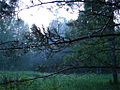 Утро лета 2007 Мокрые сосны - panoramio.jpg