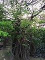 রাতারগুল জলাবনের গাছ।.jpg