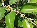 நரி இலந்தை 1 (Ziziphus Nummularia ).jpg