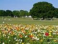 初夏のポピー園 (Island poppies at Showa Commemorative National Government Park) 11 May, 2014 - panoramio.jpg