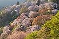吉野山下千本 2014.4.15 - panoramio.jpg