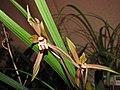 報歲春麗 Cymbidium sinense -香港沙田洋蘭展 Shatin Orchid Show, Hong Kong- (12235685606).jpg