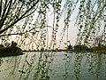 宜兴市横山水库垂柳 - panoramio.jpg