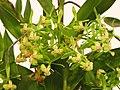 樹蘭屬 Epidendrum stamfordianum x difforme -台南國際蘭展 Taiwan International Orchid Show- (39032105930).jpg