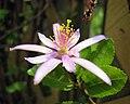 水蓮木 Grewia occidentalis -香港嘉道理農場 Kadoorie Farm, Hong Kong- (9673374756).jpg