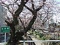 渋川・桜橋・今井桜 - panoramio.jpg