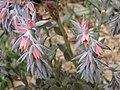 祗园之舞 Echeveria shaviana -英格蘭 Wisley Gardens, England- (9204850229).jpg
