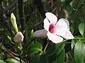 粉花凌霄(紅心藤) Pandorea jasminoides -吉隆坡 University of Malaya, Kuala Lumpur- (9240231634).jpg
