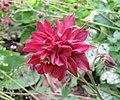 耬斗菜-重瓣 Aquilegia vulgaris v flore-pleno -巴黎植物園 Jardin des Plantes, Paris- (9207605598).jpg